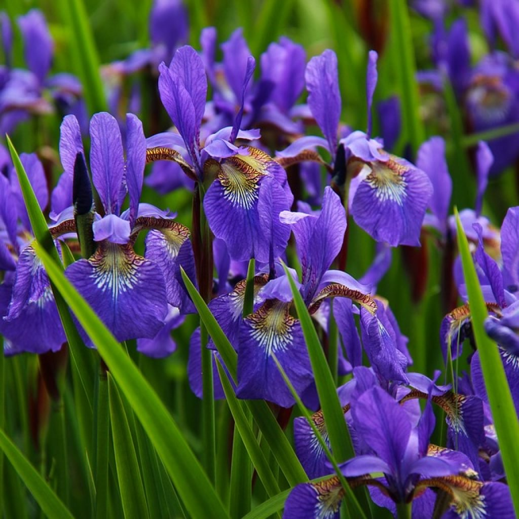 a group of purple iris flowers